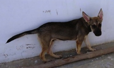Side view - A black and tan Pakistani Shepherd Dog is walking along a white concrete wall between the wall and a small brown pole looking towards the camera.