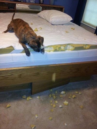 Tiger Lilly the Plott Hound is chewing on a mattress topper and the foam is all over the floor and on the top of the bed