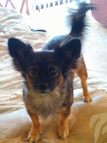 Front view from the top looking down at the dog - A brown and black with tan Pomchi is standing on a bed and it is looking forward.