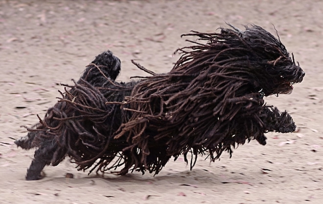 Action shot - A black dreaded Puli is running across sand and it is looking to the right. Its mouth is open. Three of its paws are off the ground and its long coat is flapping around in the air.