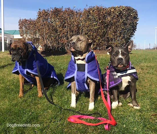 A brown brindle Boxer, a blue-nose brindle Pit Bull Terrier and a black with white American Bully are wearing purple jackets and they are sitting on a grass hill.