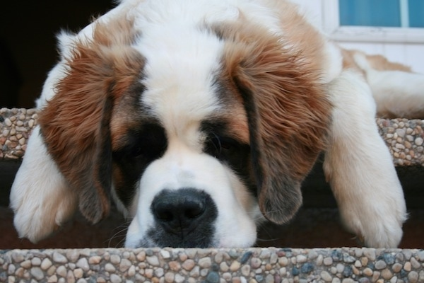 Close up front view - A large headed, brown with white and black Saint Bernard is laying over the edge of a porch staircase.