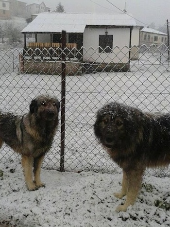 Two Sarplaninac dogs are standign face to face in snow and in front of a chainlink fence. They both are looking forward. There is a small white house behind them.