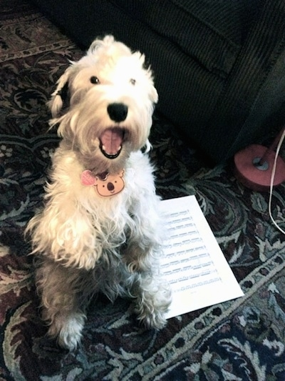 A short legged, white Sealyham Terrier is sitting on its hind legs in a begging pose on top of a rug, it is looking up, its mouth is open and there is a page of sheet music to the right of it.