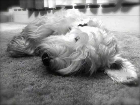 A black and white photo of a Sealyham Terrier dog that is laying on its right side on a carpet. It has a wavy coat and one of its big ears is laying across the floor.