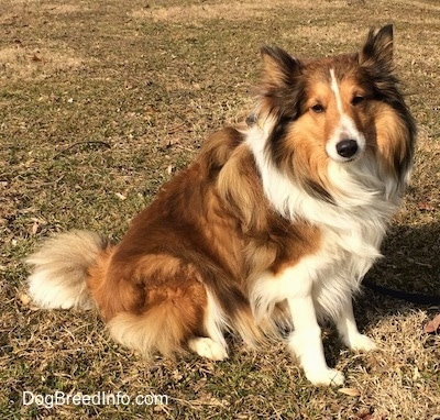 A fluffy, brown with white Shetland Sheepdog is sitting across a grass surface, it is looking forward and its head is tilted to the left. The dog has perk ears.