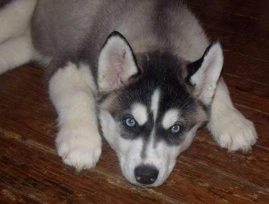 A blue-eyed, grey, black and white Siberian Husky puppy is laying down on a hardwood floor and it is looking forward.