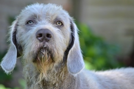 Close up head shot - A brown with white Slovakian Rough Haired Pointer dog standing in grass and it is looking up. It has light golden eyes.