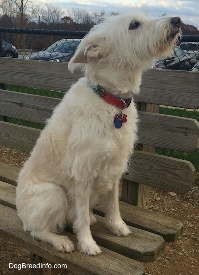 A tan Auss-Tzu is sitting on a wooden park bench looking up and it is facing the right. There is a parking lot in the background. It has a long pointy snout and a black nose.