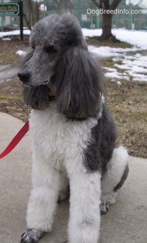 The front left side of a thick-coated, white with gray, parti-colored Standard Poodle dog sitting across a concrete surface looking to the left.