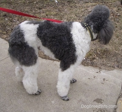 The back right side of a gray and white parti-colored Standard Poodle dog standing across a walkway looking behind itself.