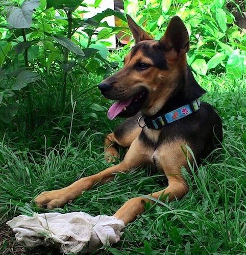 Front view - A black with tan and white Telomian dog laying outside in the shade of an unkempt lawn with a burlap sack in front of it looking to the left with its mouth open and its tongue is sticking out. The dog has wide set perk ears.