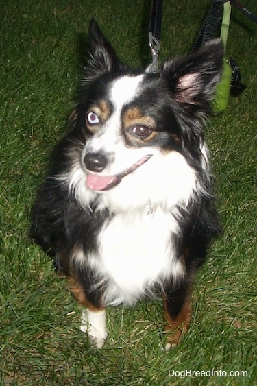 A perk-eared, tricolor, black with white and brown Toy Australian Shepherd is sitting in grass with its head slightly turned to the left. Its mouth is open and tongue is out. One of the dog's eyes is blue and the other is brown.