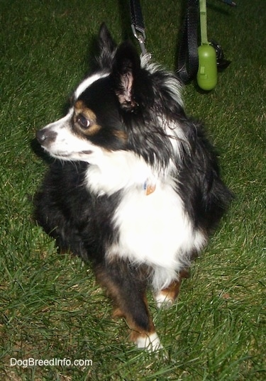 View from the front - A perk-eared, tricolor, black with white and brown Toy Australian Shepherd is sitting in grass looking to the left.