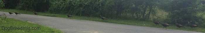 Nine Wild Turkeys are attempting to cross a road.