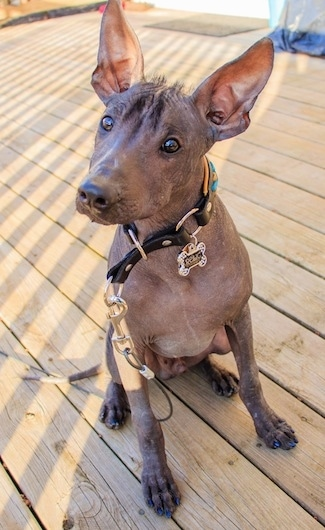 A black hairless Xoloitzcuintli puppy is sitting on a hardwood floor and its head is tilted to the right and it is looking to the left. It has a fuzz of hair between its large perk ears.