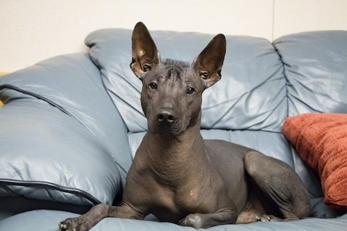 A hairless black Xoloitzcuintli is laying across a blue couch and it is looking forward. It has large perk ears, a black nose, dark eyes and a fuzz of hair in-between its ears and on its forehead.