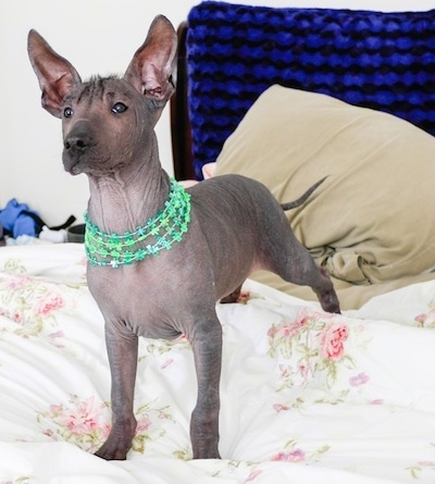 The front left side of a black Xoloitzcuintli puppy that is standing across a white floral print bed sheet and it is looking to the left. It has large ears that stand up in the air, dark almond shaped eyes, a black nose, dark gray skin with wrinkles and it is wearing green necklaces. It has a long skinny tail.