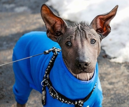 A darky gray and black hairless Xoloitzcuintli puppy is standing outside on a sidewalk surrounded in snow. The dog is wearing a blue coat, as big ears that stand up, dark eyes and a black nose.