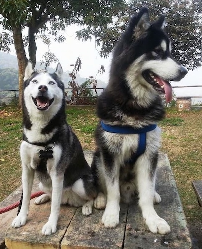 A Siberian Husky and an Alaskan Malamute are sitting on a wooden table at a park. The larger Alaskan Malamute is looking to the right and the smaller Siberian Husky is looking up with its mouth open.