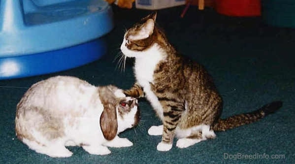 A rabbit is standing in front of a cat. The cat has its paw on top of its head.