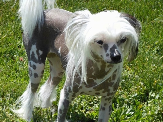 A Chinese Crested Hairless dog is standing in grass. It has hair on its head, tail and paws but is bald everywhere else.