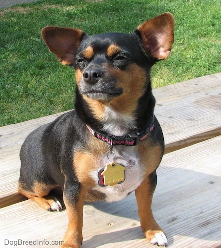 Dolly the black with tan Chiweenie is sitting on a wooden picnic table in a park looking to the sky and squinting her eyes