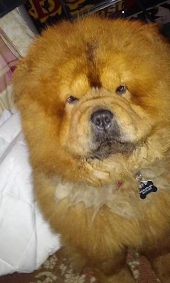 Thor the red Chow Chow is sitting on a rug and looking up at the camera holder. He has a lot of thick fur, a huge head and small eyes