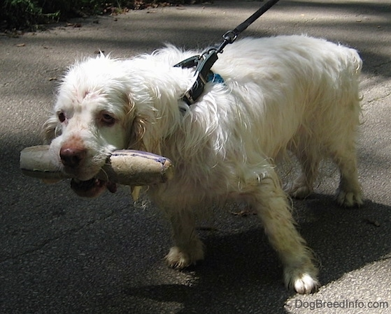 Bodie the Clumber Spaniel has a long toy in its mouth and he is pulling a person down a sidewalk