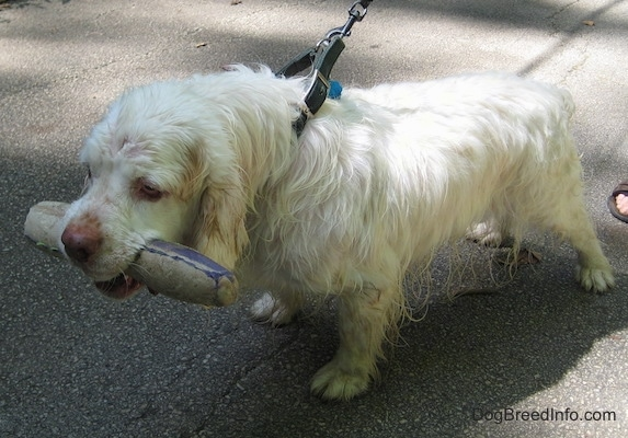 Bodie the Clumber Spaniel has a toy in his mouth. He is wearing a black leather collar and pulling on the leash