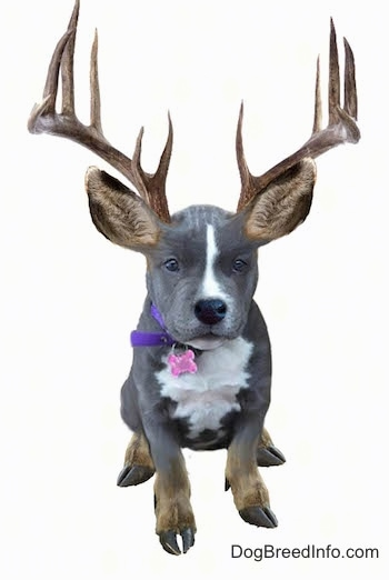Photoshopped picture of Mia the American Bully with elk ears, feet and antlers