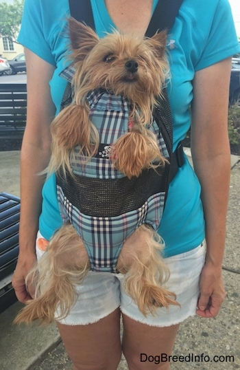 Mandy Mae the Yorkie in a dog carrier strapped to a ladies chest
