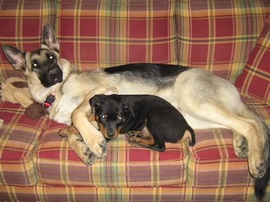 The left side of a tan with black German Shepherd that is laying on a couch with a black with brown Rottweiler puppy laying in front of it.