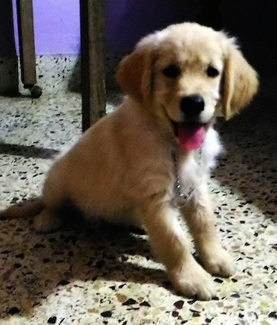 A Golden Retriever puppy is sitting on a speckled floor in front of a table with its tongue hanging out looking happy.