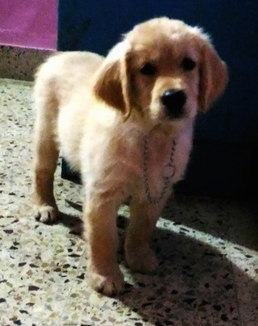 A Golden Retriever puppy is wearing a choke chain collar standing on a marble floor.