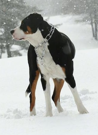 Close Up - A tricolor black, tan and white Greater Swiss Mountain Dog is wearing a prong collar standing outside in snow while it is activly snowing.