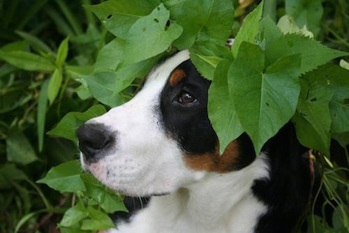 Close Up - A tricolor black, tan and white Greater Swiss Mountain Dog has its head poking out from behind leaves and is looking to the left