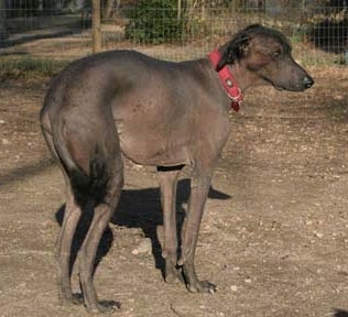A Hairless Khala dog wearing a red collar is standing in dirt and there is a wire fence in front of it. It has black hair on its head, ears and tail, but is bald everywhere else.