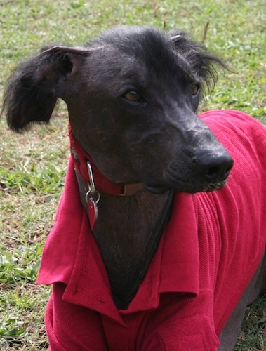 A Hairless Khala is wearing a red jacket and it is laying in grass looking to the right. It has a little bit of black hair on its head and ears.