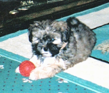 A thick, soft coated, Lhasa Apso puppy laying on a rug with a red toy ball between its paws