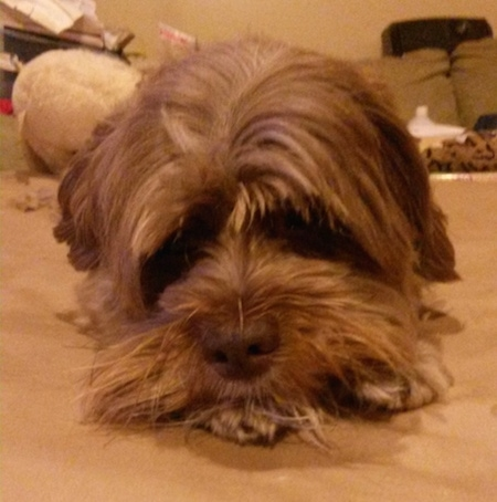 Close up front view - A tan Lhasa-Poo is laying on a carpet and looking forward.