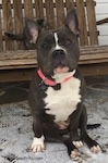 A blue nose American Bully Pit is sitting on a stone porch and behind her is a wooden bench. She is looking forward, both of her ears are up and her head is slightly tilted to the left.