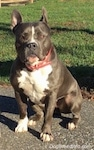 A blue nose American Bully Pit is sitting on a blacktop surface and she is looking to the right. There is a field behind her.