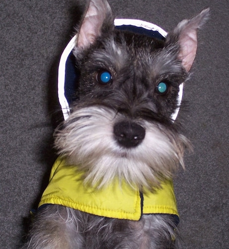 Buddy the Miniature Schnauzer puppy is jumped up at the camera holder wearing a yellow rain coat