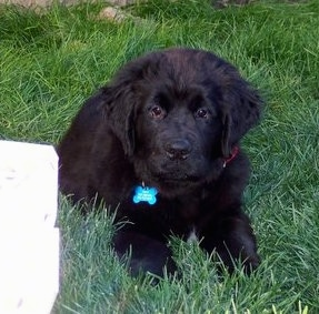 Front view - A black with white Newfoundland puppy that is laying in grass and it is looking forward. It looks like a bear cub.