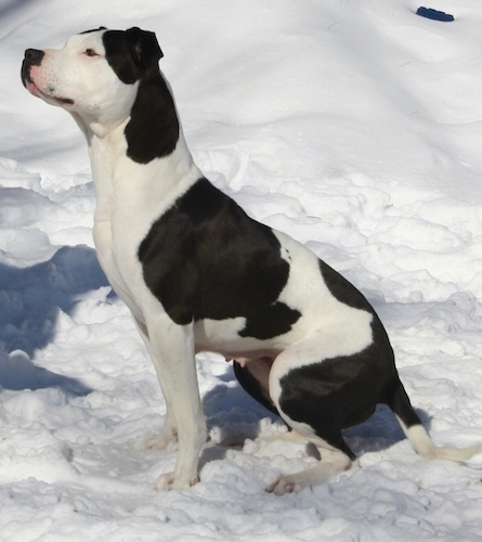 Left Profile - A black and white Ol' Southern Catchdog is sitting in snow and it is looking up and to the left with a focused, happy look on its face.