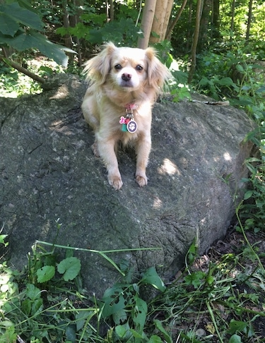 Front view - A tan Peke-A-poo dog is laying on a large, boulder-sized rock in the woods. It is looking forward. There are trees behind it.