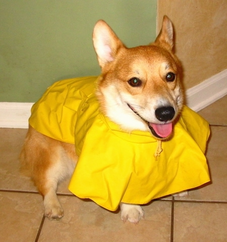 Penny the tan and white Pembroke Welsh Corgi is wearing a yellow rain coat and standing on a tiled floor. Her tongue is showing and she looks happy.