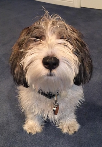 Close up front view - A shaggy-looking, white with black and tan Petit Basset Griffon Vendeen dog is sitting on a blue carpeted floor looking up.