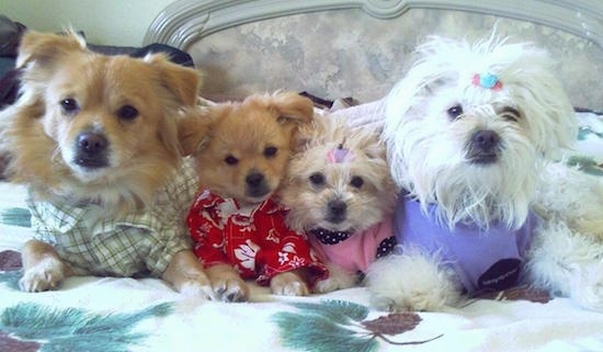 Four toy dogs are laying in a human's bed all wearing clothes. They are dressed to look like a family. The Two parent dogs on the outside and the puppies are on the inside